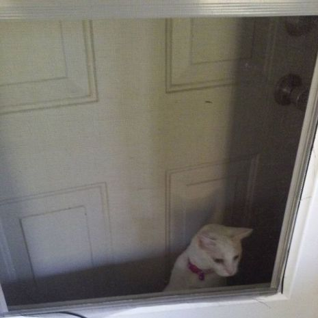 cute white cat door